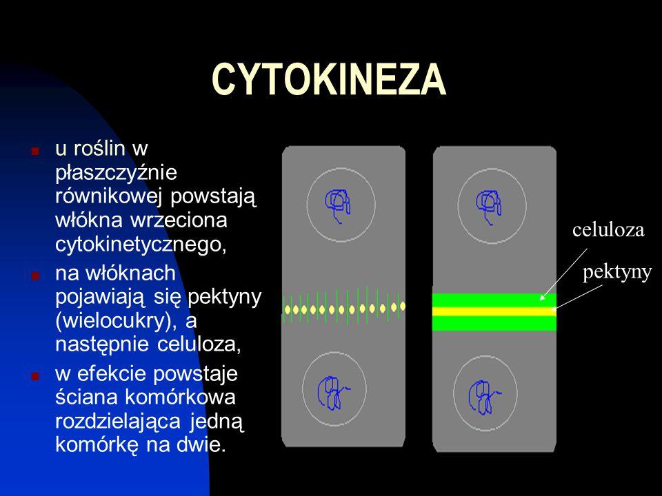 CYTOKINEZA u roślin w płaszczyźnie równikowej powstają włókna wrzeciona cytokinetycznego, na włóknach pojawiają się pektyny (wielocukry), a następnie celuloza, w efekcie powstaje ściana komórkowa rozdzielająca jedną komórkę na dwie.