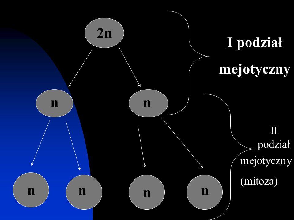 2n nn nn n n I podział mejotyczny II podział mejotyczny (mitoza)