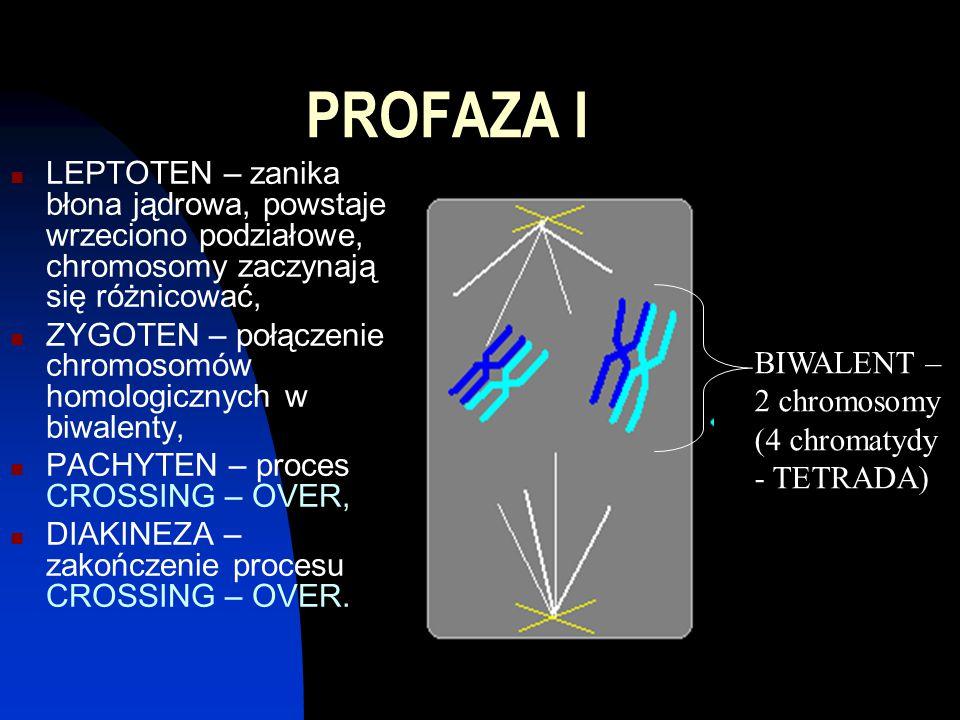 PROFAZA I LEPTOTEN – zanika błona jądrowa, powstaje wrzeciono podziałowe, chromosomy zaczynają się różnicować, ZYGOTEN – połączenie chromosomów homologicznych w biwalenty, PACHYTEN – proces CROSSING – OVER, DIAKINEZA – zakończenie procesu CROSSING – OVER.