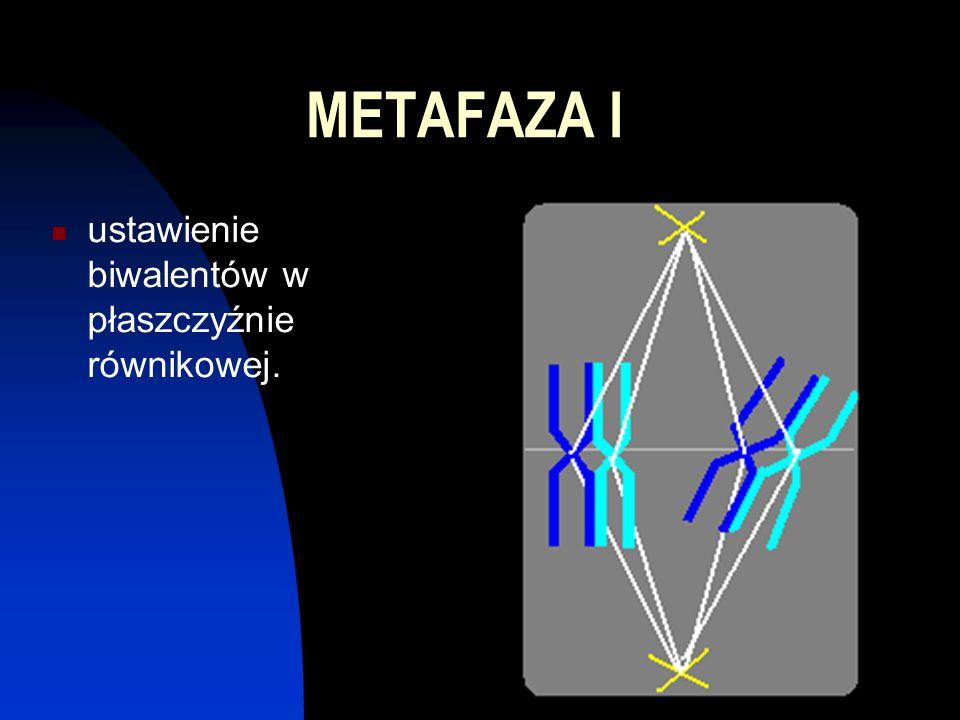 METAFAZA I ustawienie biwalentów w płaszczyźnie równikowej.