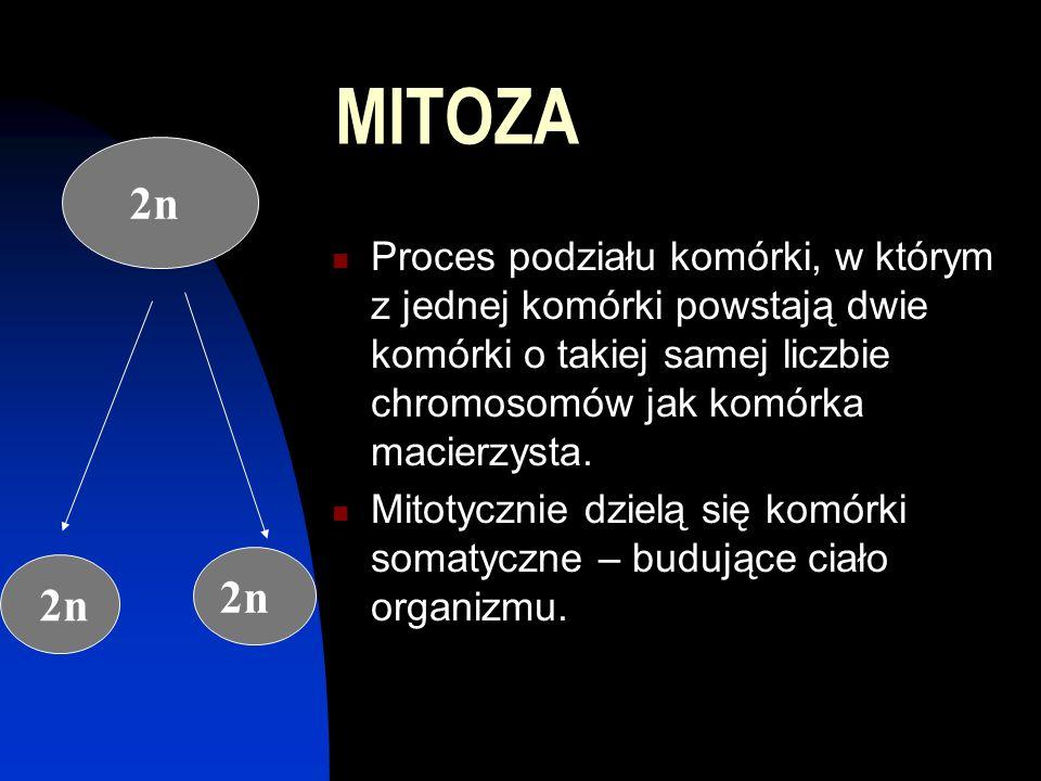 MITOZA Proces podziału komórki, w którym z jednej komórki powstają dwie komórki o takiej samej liczbie chromosomów jak komórka macierzysta. Mitotyczni