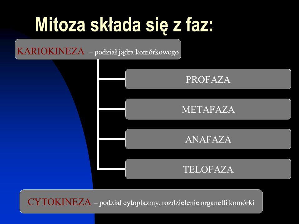 Mitoza składa się z faz: KARIOKINEZA – podział jądra komórkowego PROFAZA METAFAZA ANAFAZA TELOFAZA CYTOKINEZA – podział cytoplazmy, rozdzielenie organ