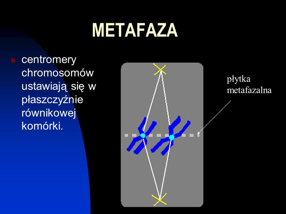 ANAFAZA rozdzielenie materiału genetycznego poprzez skurcz włókien wrzeciona, każde włókno przyciąga jedną chromatydę z chromosomu.