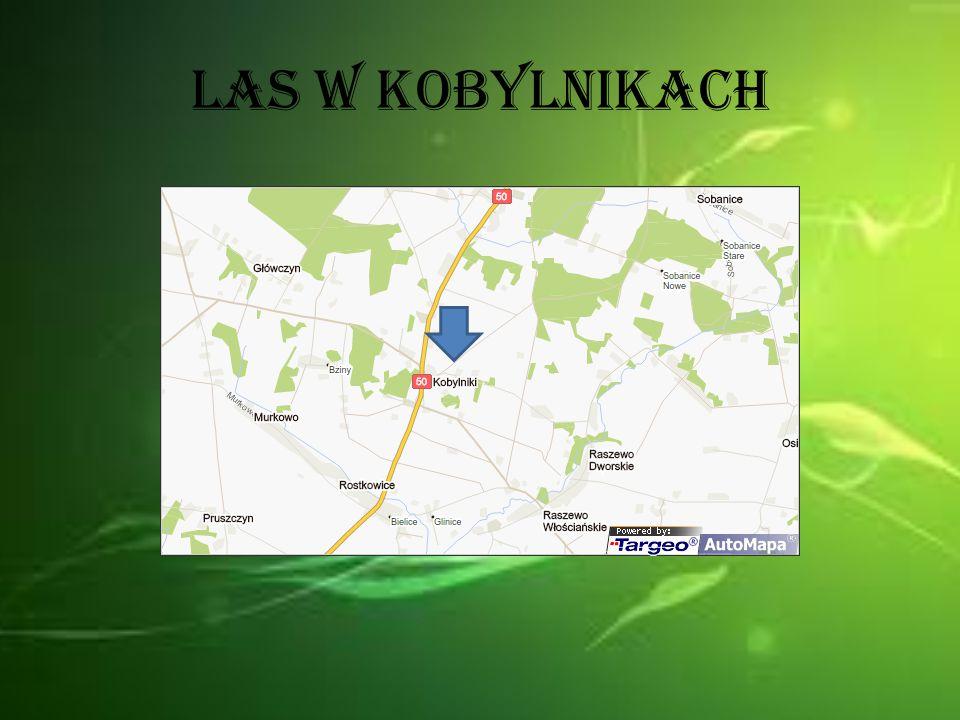 Las w Kobylnikach to typowy las liściasty, czyli taki jak w Kotuszu.