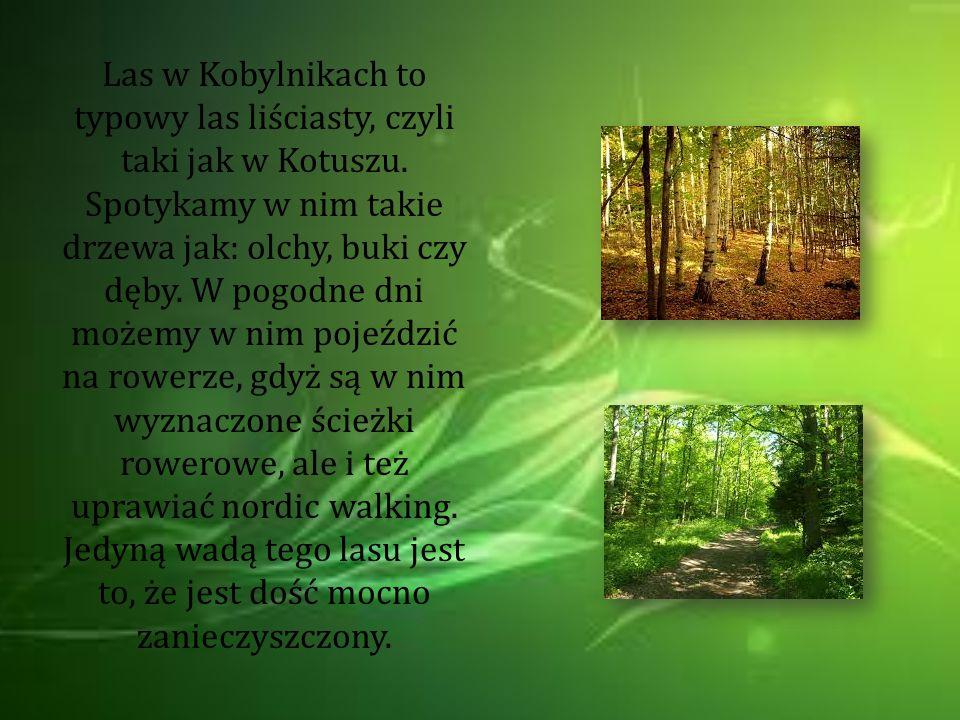 Las w Kobylnikach to typowy las liściasty, czyli taki jak w Kotuszu. Spotykamy w nim takie drzewa jak: olchy, buki czy dęby. W pogodne dni możemy w ni
