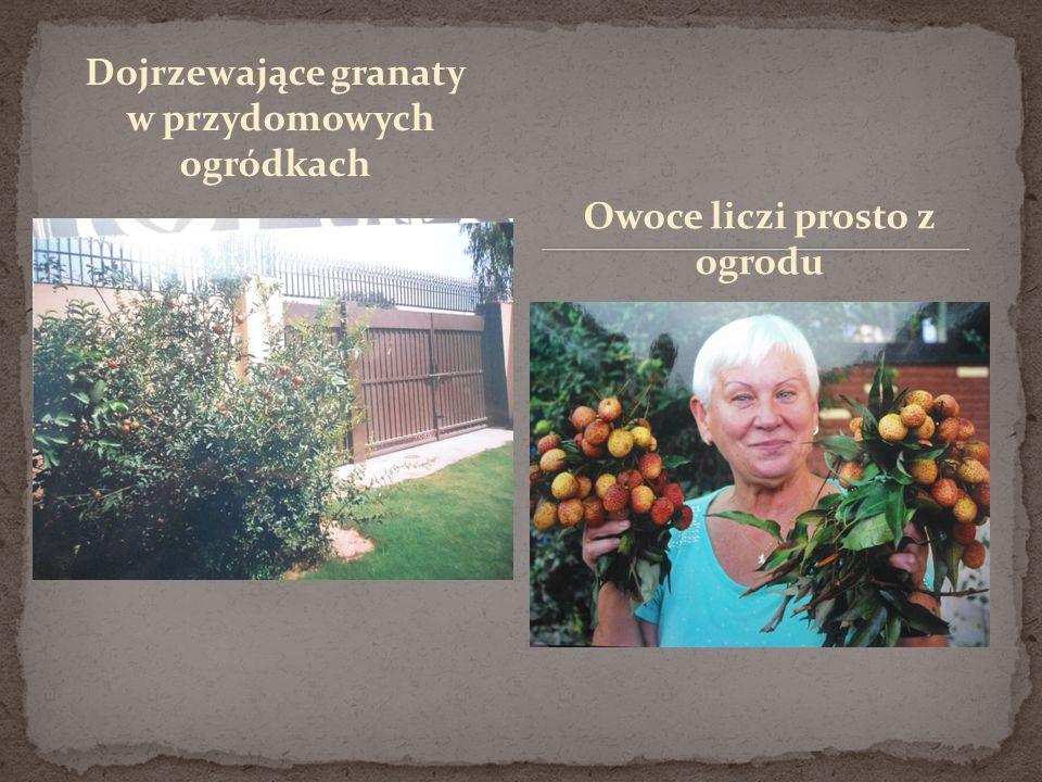 Dojrzewające granaty w przydomowych ogródkach Owoce liczi prosto z ogrodu