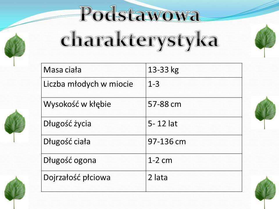 Masa ciała13-33 kg Liczba młodych w miocie1-3 Wysokość w kłębie57-88 cm Długość życia5- 12 lat Długość ciała97-136 cm Długość ogona1-2 cm Dojrzałość płciowa2 lata