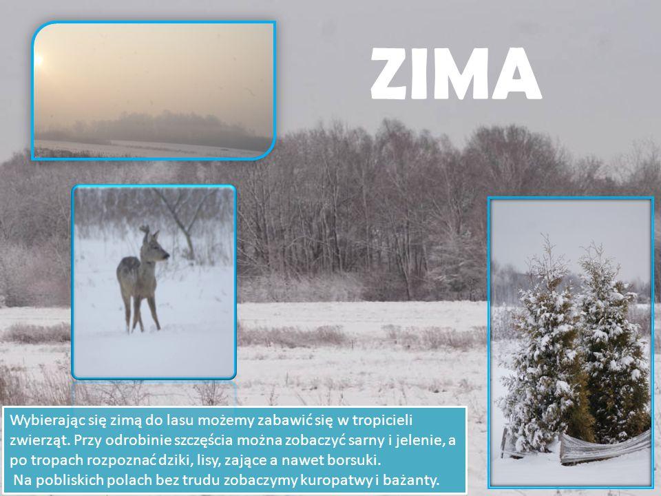 ZIMA Wybierając się zimą do lasu możemy zabawić się w tropicieli zwierząt.