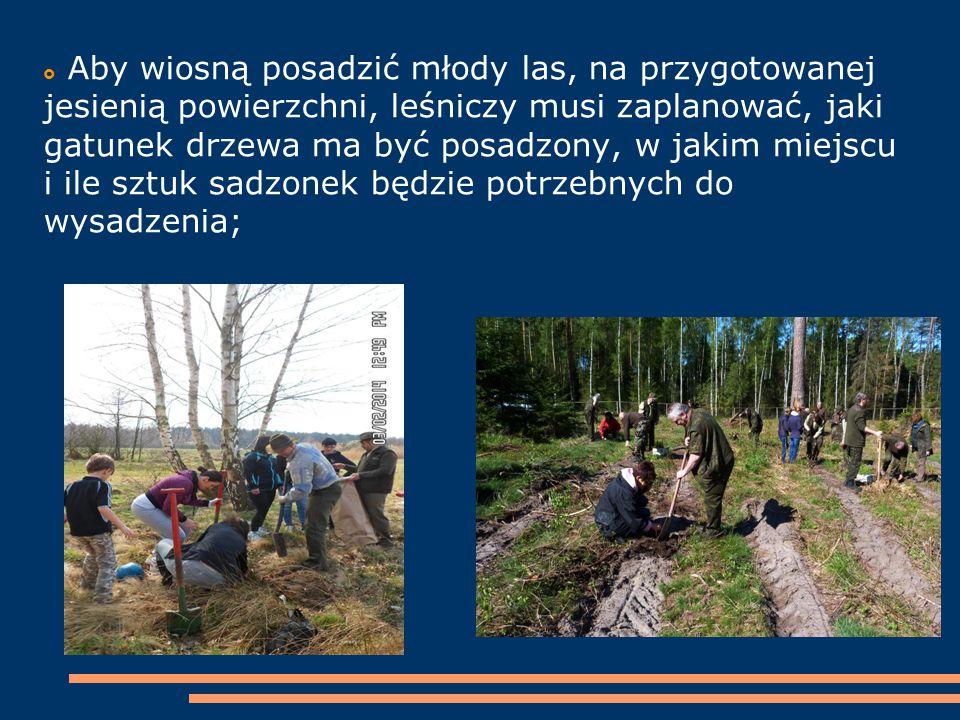  Aby wiosną posadzić młody las, na przygotowanej jesienią powierzchni, leśniczy musi zaplanować, jaki gatunek drzewa ma być posadzony, w jakim miejsc