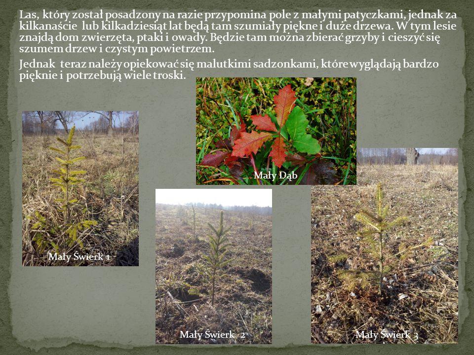 Las, który został posadzony na razie przypomina pole z małymi patyczkami, jednak za kilkanaście lub kilkadziesiąt lat będą tam szumiały piękne i duże drzewa.