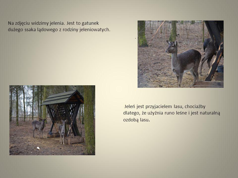 Na zdjęciu widzimy jelenia. Jest to gatunek dużego ssaka lądowego z rodziny jeleniowatych.. Jeleń jest przyjacielem lasu, chociażby dlatego, że użyźni