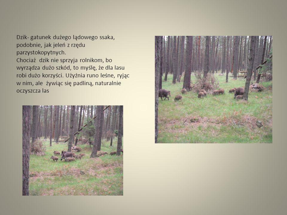 Dzik- gatunek dużego lądowego ssaka, podobnie, jak jeleń z rzędu parzystokopytnych. Chociaż dzik nie sprzyja rolnikom, bo wyrządza dużo szkód, to myśl