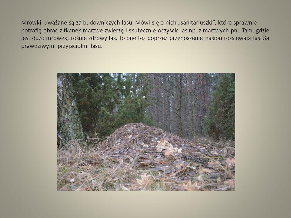 """Mrówki uważane są za budowniczych lasu. Mówi się o nich """"sanitariuszki"""", które sprawnie potrafią obrać z tkanek martwe zwierzę i skutecznie oczyścić l"""