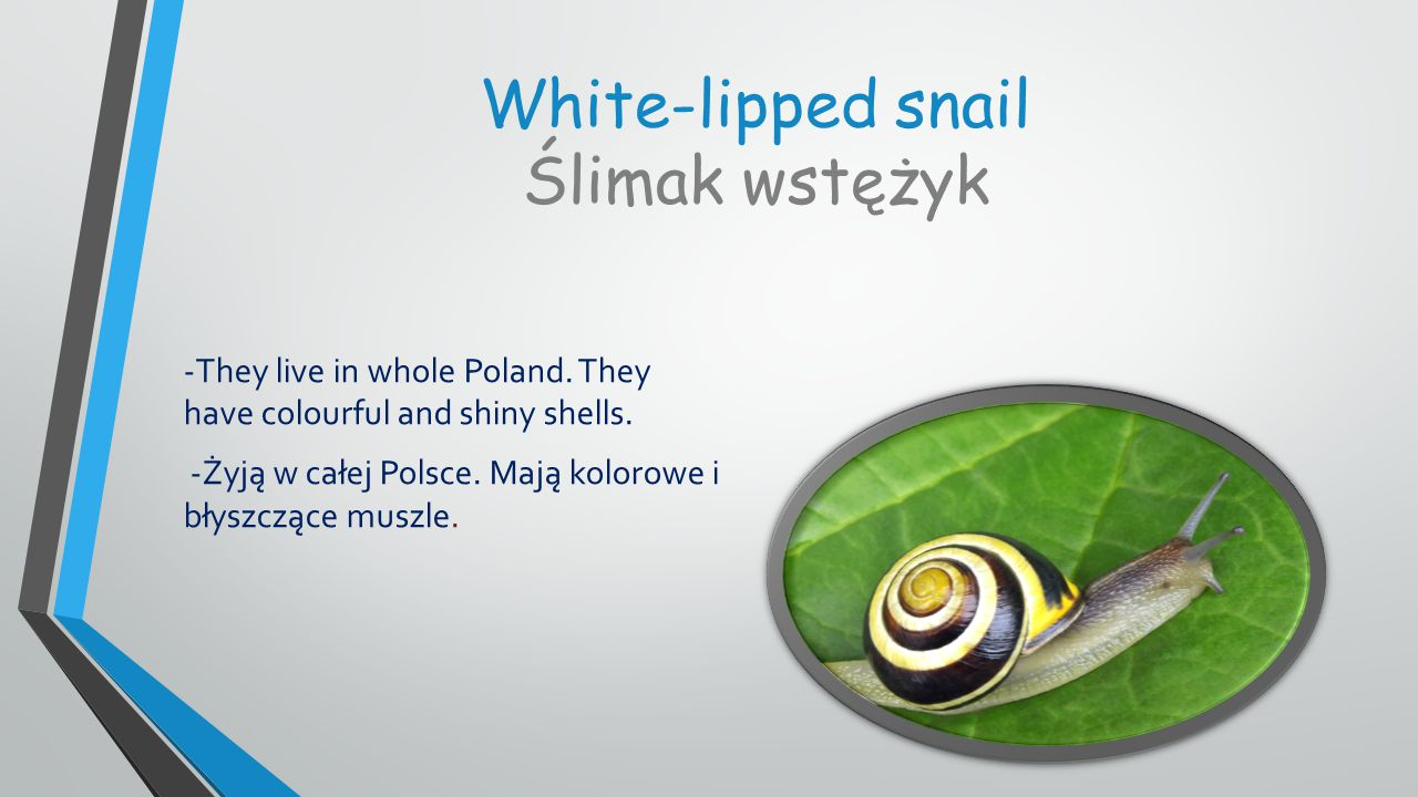 White-lipped snail Ślimak wstężyk -They live in whole Poland.