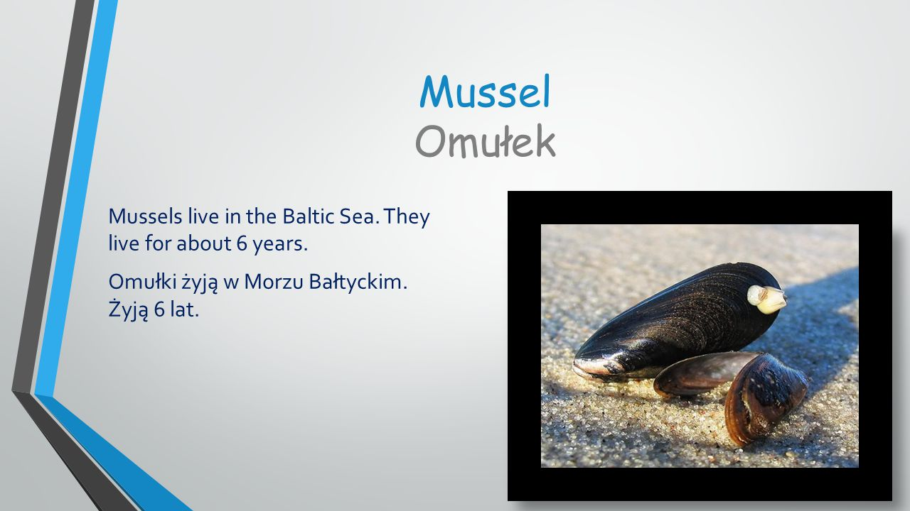 Mussel Omułek Mussels live in the Baltic Sea.They live for about 6 years.