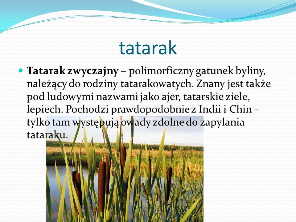 tatarak Tatarak zwyczajny – polimorficzny gatunek byliny, należący do rodziny tatarakowatych.