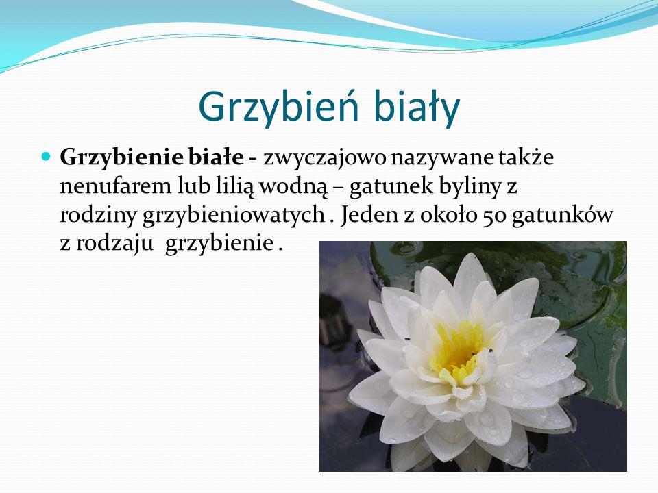 Grążel żółty Grążel żółty, bączywie – gatunek byliny wodnej z rodziny grzybieniowatych.