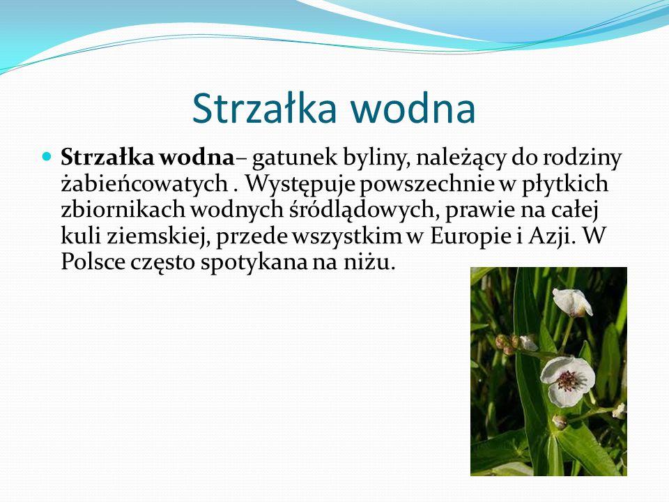 Strzałka wodna Strzałka wodna– gatunek byliny, należący do rodziny żabieńcowatych.