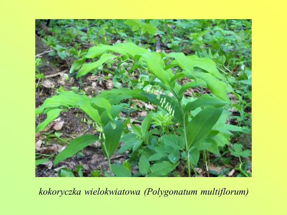 kokoryczka wielokwiatowa (Polygonatum multiflorum)