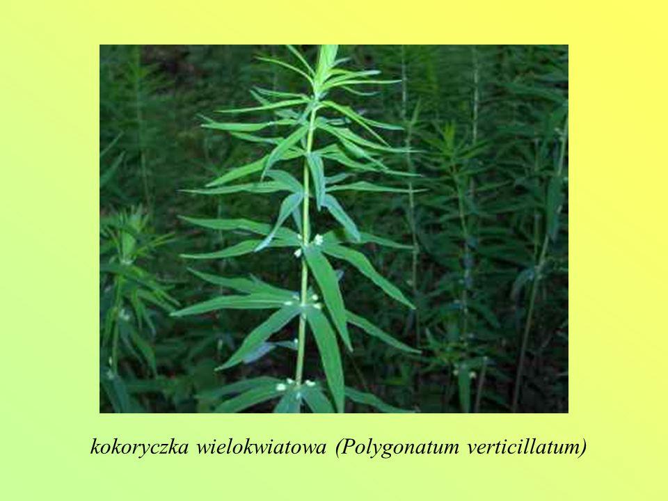 kokoryczka wielokwiatowa (Polygonatum verticillatum)