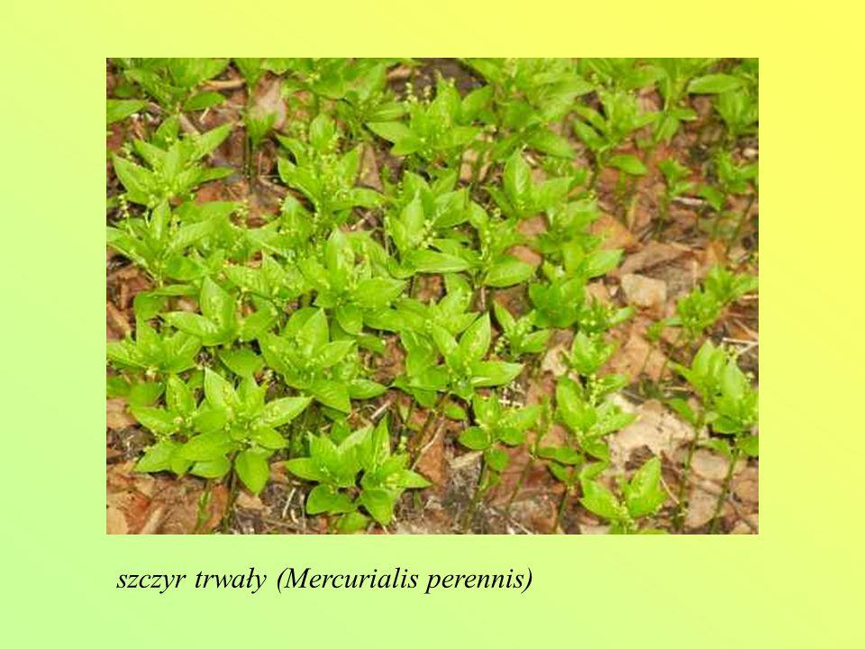 szczyr trwały (Mercurialis perennis)