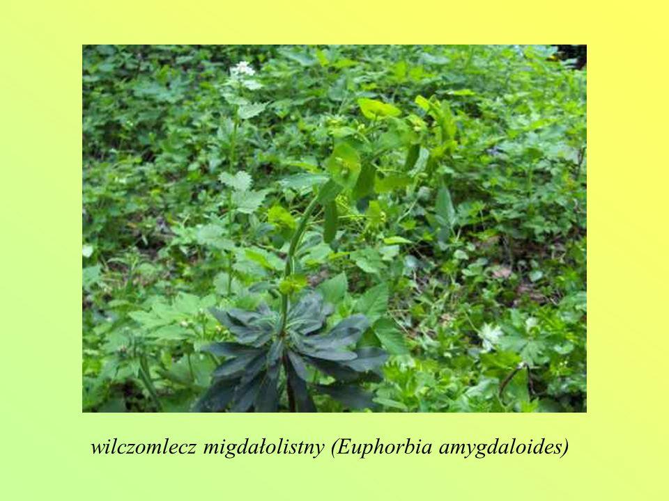 wilczomlecz migdałolistny (Euphorbia amygdaloides)