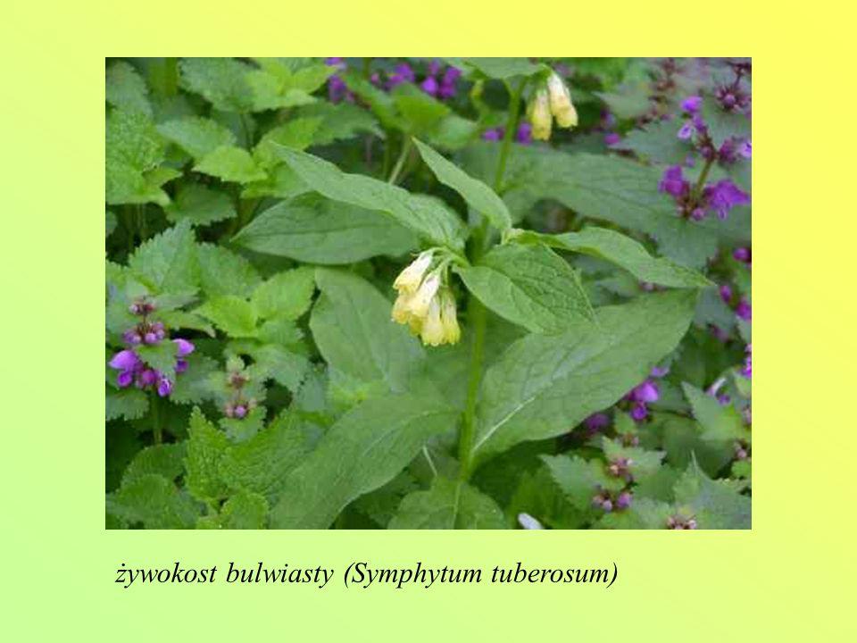 żywokost bulwiasty (Symphytum tuberosum)
