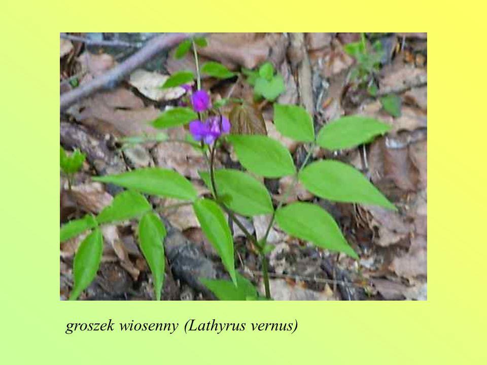groszek wiosenny (Lathyrus vernus)