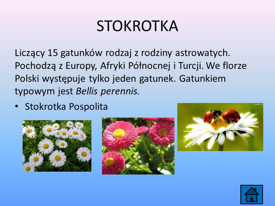 LILIA Rodzaj bylin cebulowych z rodziny liliowatych, obejmujący około 75 gatunków.