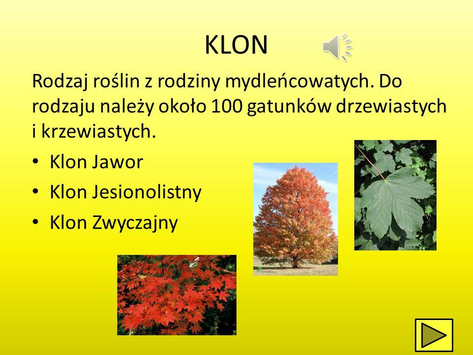 STOKROTKA Liczący 15 gatunków rodzaj z rodziny astrowatych.