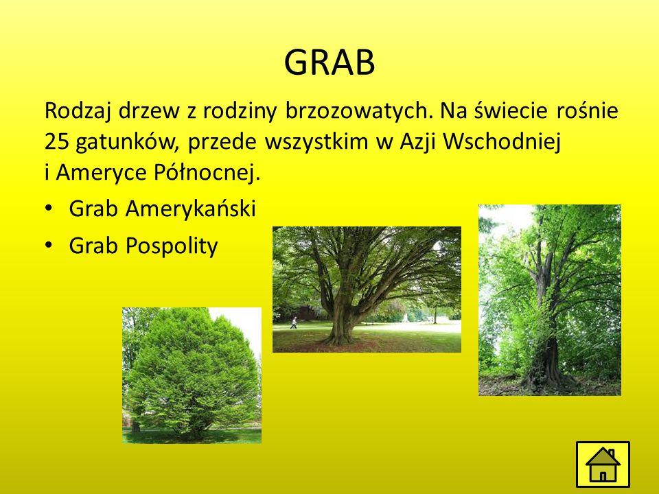 BUK Rodzaj drzew z rodziny bukowatych obejmujący 9–10 gatunków Występują one głównie w strefie umiarkowanej na półkuli północnej.