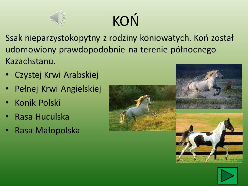 KOŃ Ssak nieparzystokopytny z rodziny koniowatych.