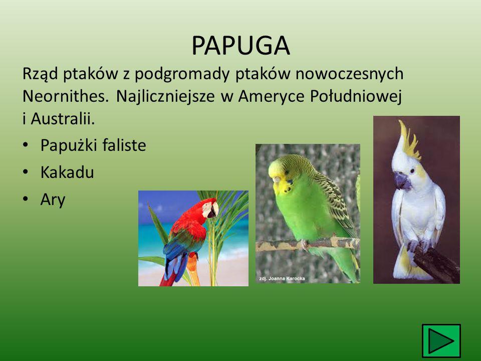 PAPUGA Rząd ptaków z podgromady ptaków nowoczesnych Neornithes.