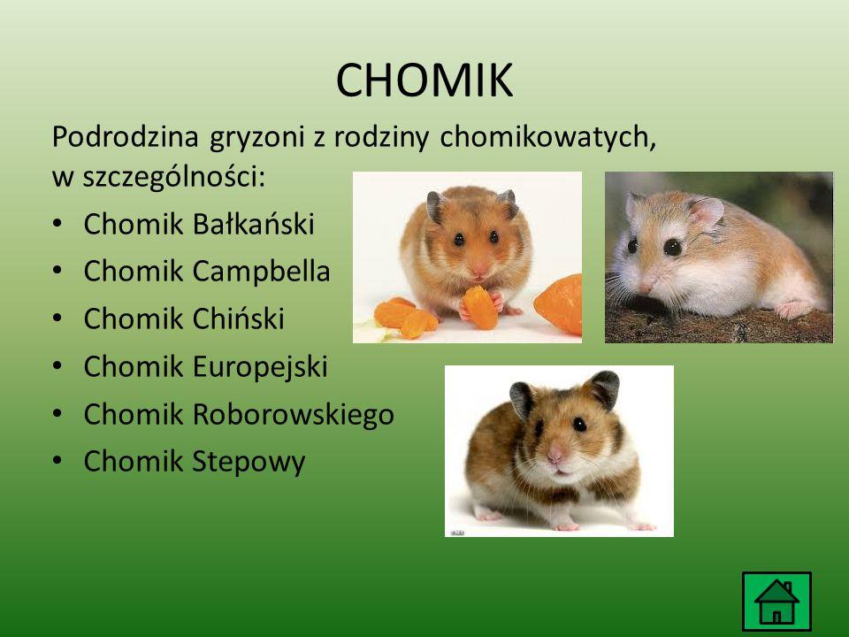 CHOMIK Podrodzina gryzoni z rodziny chomikowatych, w szczególności: Chomik Bałkański Chomik Campbella Chomik Chiński Chomik Europejski Chomik Roborowskiego Chomik Stepowy