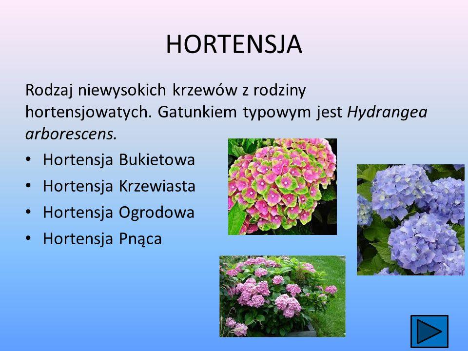 HORTENSJA Rodzaj niewysokich krzewów z rodziny hortensjowatych.
