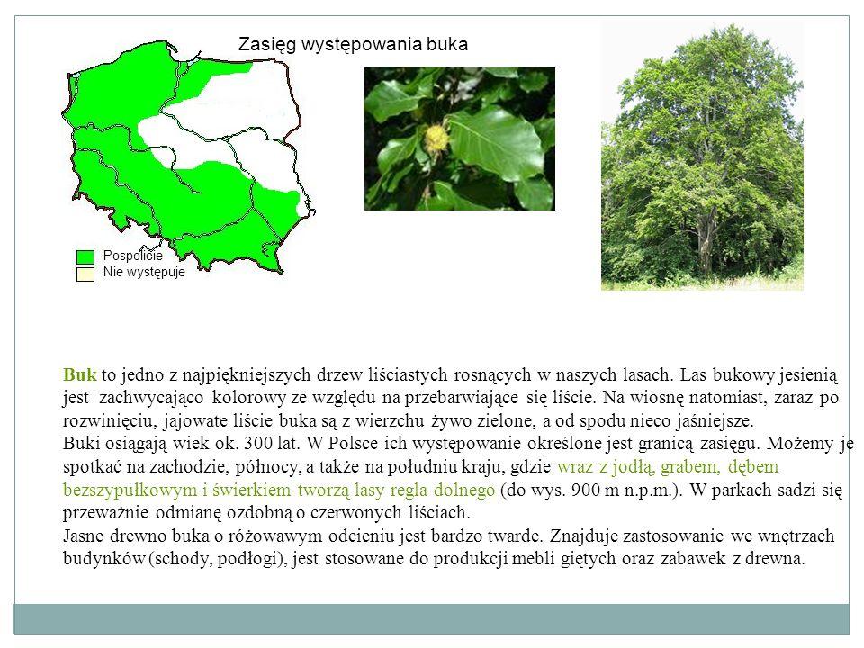 Buk to jedno z najpiękniejszych drzew liściastych rosnących w naszych lasach. Las bukowy jesienią jest zachwycająco kolorowy ze względu na przebarwiaj