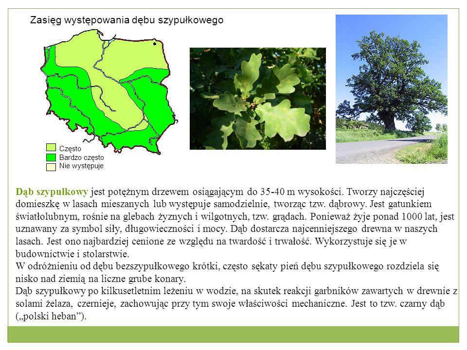 Często Bardzo często Nie występuje Zasięg występowania dębu szypułkowego Dąb szypułkowy jest potężnym drzewem osiągającym do 35-40 m wysokości. Tworzy