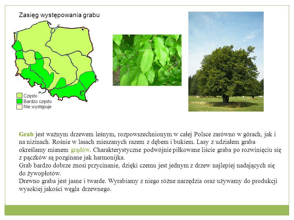 Zasięg występowania grabu Często Bardzo często Nie występuje Grab jest ważnym drzewem leśnym, rozpowszechnionym w całej Polsce zarówno w górach, jak i