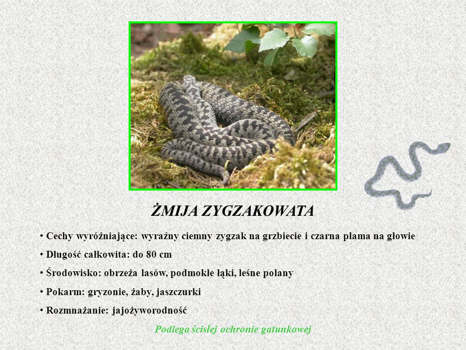 Cechy wyróżniające: wyraźny ciemny zygzak na grzbiecie i czarna plama na głowie Długość całkowita: do 80 cm Środowisko: obrzeża lasów, podmokłe łąki, leśne polany Pokarm: gryzonie, żaby, jaszczurki Rozmnażanie: jajożyworodność Podlega ścisłej ochronie gatunkowej ŻMIJA ZYGZAKOWATA