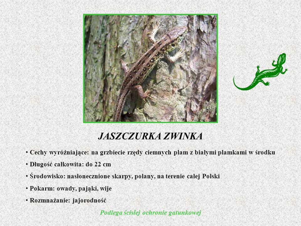 Cechy wyróżniające: na grzbiecie rzędy ciemnych plam z białymi plamkami w środku Długość całkowita: do 22 cm Środowisko: nasłonecznione skarpy, polany, na terenie całej Polski Pokarm: owady, pająki, wije Rozmnażanie: jajorodność Podlega ścisłej ochronie gatunkowej JASZCZURKA ZWINKA