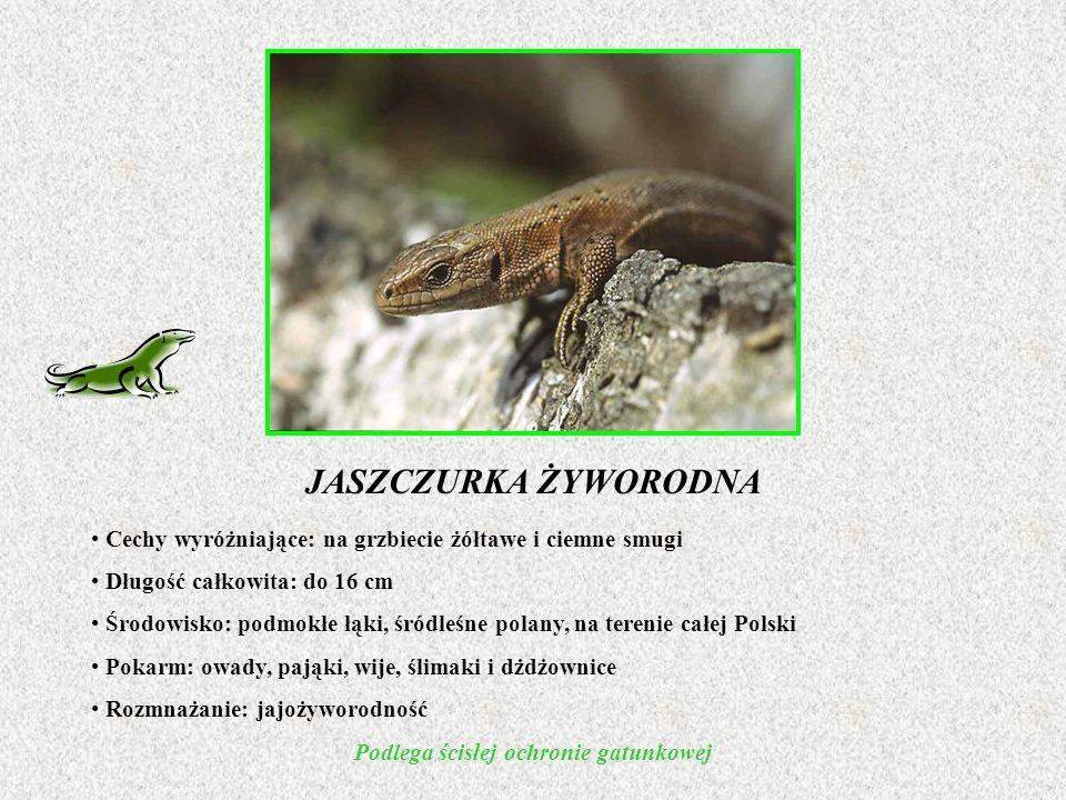 JASZCZURKA ŻYWORODNA Cechy wyróżniające: na grzbiecie żółtawe i ciemne smugi Długość całkowita: do 16 cm Środowisko: podmokłe łąki, śródleśne polany, na terenie całej Polski Pokarm: owady, pająki, wije, ślimaki i dżdżownice Rozmnażanie: jajożyworodność Podlega ścisłej ochronie gatunkowej