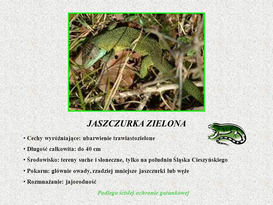 PADALEC ZWYCZAJNY Cechy wyróżniające: walcowate ciało, typowa głowa jaszczurki, brak odnóży Długość całkowita: do 50 cm Środowisko: lasy liściaste, na terenie całej Polski Pokarm: owady, ślimaki, dżdżownice Rozmnażanie: jajożyworodność Podlega ścisłej ochronie gatunkowej