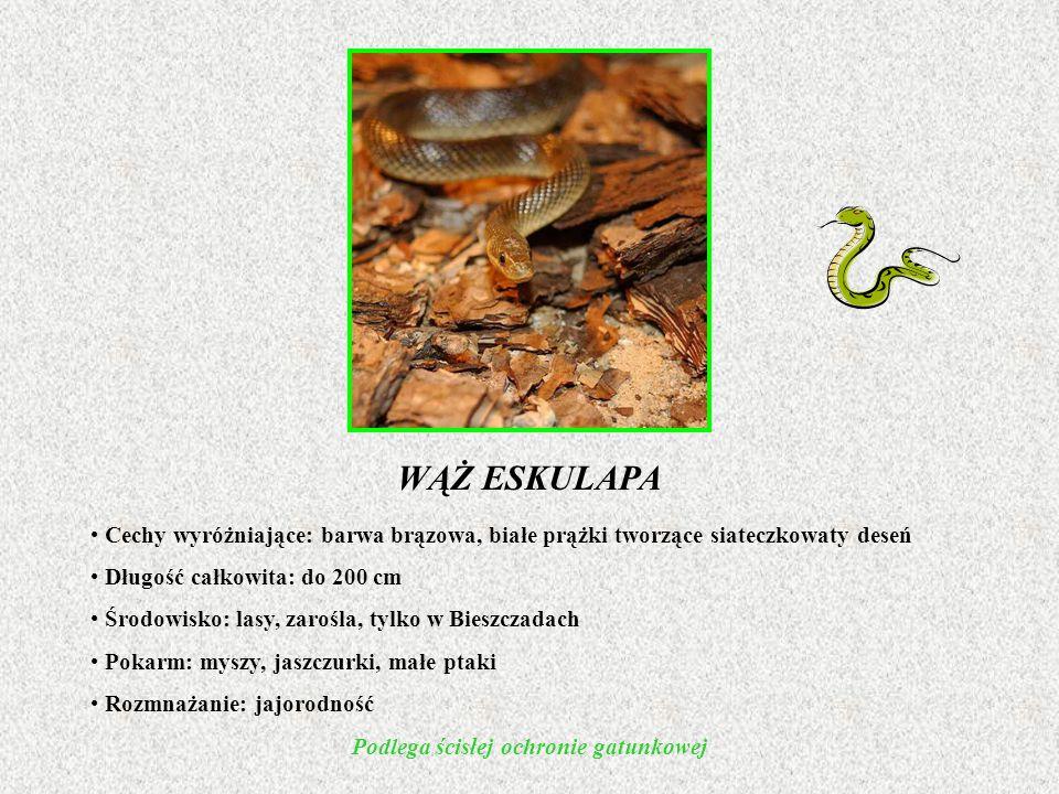 WĄŻ ESKULAPA Cechy wyróżniające: barwa brązowa, białe prążki tworzące siateczkowaty deseń Długość całkowita: do 200 cm Środowisko: lasy, zarośla, tylko w Bieszczadach Pokarm: myszy, jaszczurki, małe ptaki Rozmnażanie: jajorodność Podlega ścisłej ochronie gatunkowej