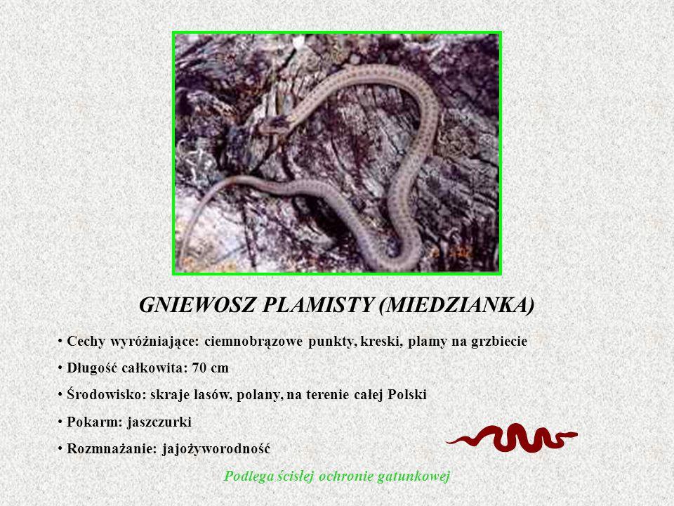GNIEWOSZ PLAMISTY (MIEDZIANKA) Cechy wyróżniające: ciemnobrązowe punkty, kreski, plamy na grzbiecie Długość całkowita: 70 cm Środowisko: skraje lasów, polany, na terenie całej Polski Pokarm: jaszczurki Rozmnażanie: jajożyworodność Podlega ścisłej ochronie gatunkowej