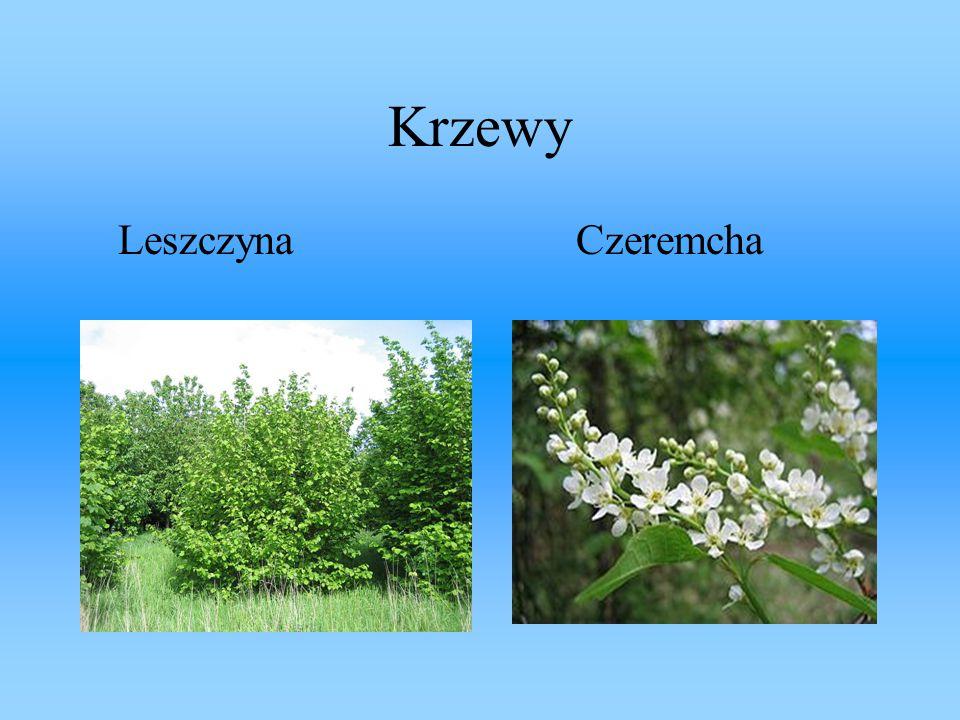 Krzewy Leszczyna Czeremcha