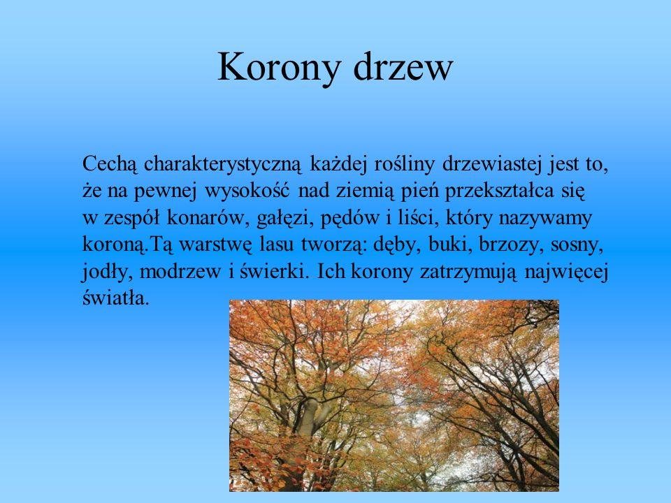 Korony drzew Cechą charakterystyczną każdej rośliny drzewiastej jest to, że na pewnej wysokość nad ziemią pień przekształca się w zespół konarów, gałę