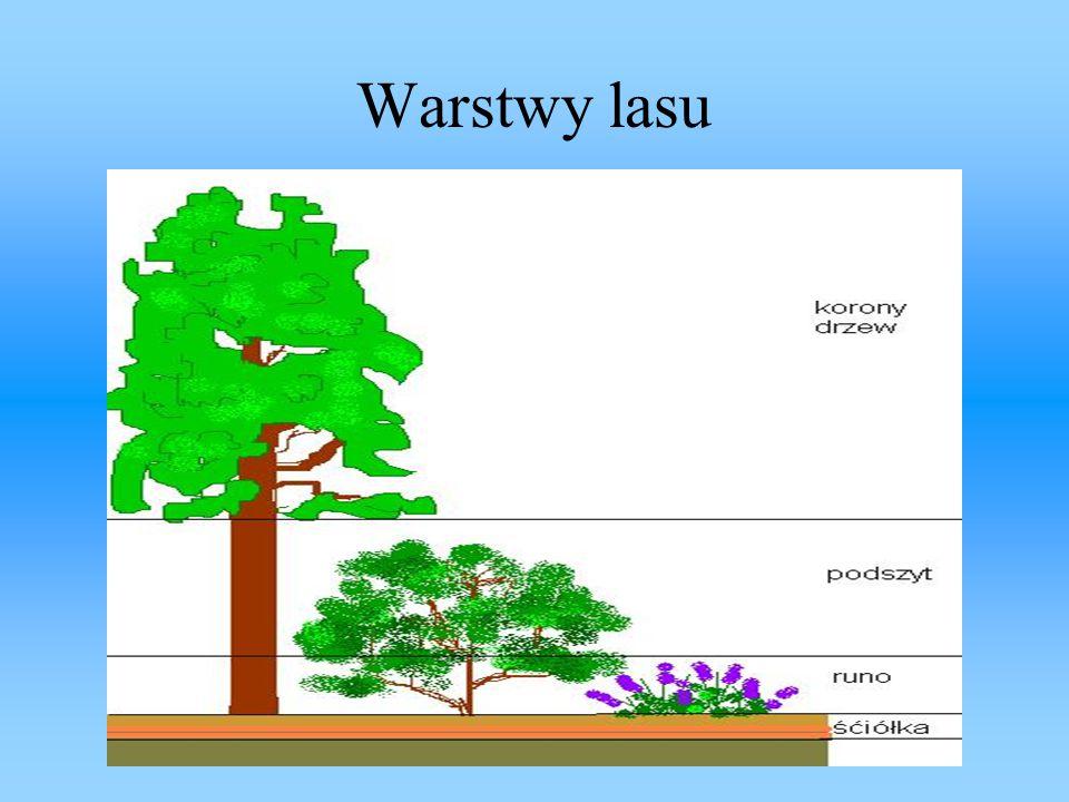 Korony drzew Cechą charakterystyczną każdej rośliny drzewiastej jest to, że na pewnej wysokość nad ziemią pień przekształca się w zespół konarów, gałęzi, pędów i liści, który nazywamy koroną.Tą warstwę lasu tworzą: dęby, buki, brzozy, sosny, jodły, modrzew i świerki.