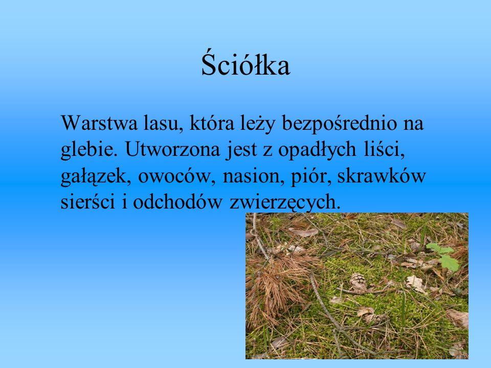Ściółka Warstwa lasu, która leży bezpośrednio na glebie. Utworzona jest z opadłych liści, gałązek, owoców, nasion, piór, skrawków sierści i odchodów z