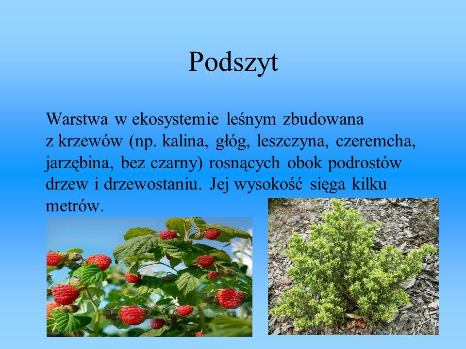 Podszyt Warstwa w ekosystemie leśnym zbudowana z krzewów (np. kalina, głóg, leszczyna, czeremcha, jarzębina, bez czarny) rosnących obok podrostów drze