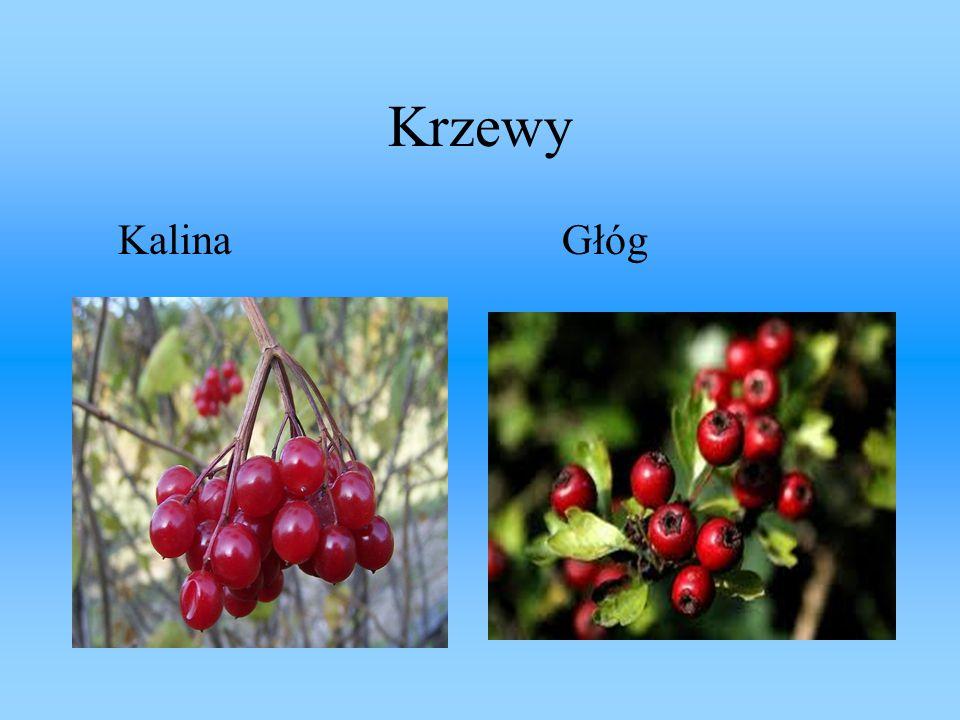 Krzewy Kalina Głóg